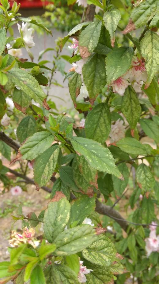 複瓣粉紅色 郁李葉子、leaves of Japanese bush cherry, or Oriental bush cherry、Prunus japonica, Cerasus japonica